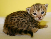 bengal kittes for adoption