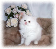 fantastic persian kittens for adoption