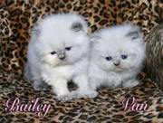 Vet health checked Persain kittens for sale