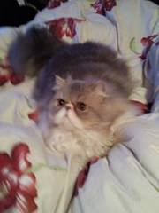 purebred persian cat for sale