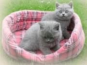 cute and loving british short hair kittens ready to go