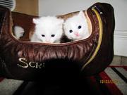 6 weeks old amazing kittens