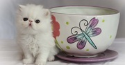 Purebred Micro-mini,  Teacup Persians Kittens