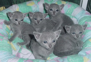 Muyuka and Ekona Gorgeous Blue Russian kittens Ready to go