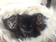 Silver Tabbies Ready to Go for sale