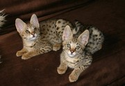 Healthy Savannah kittens for good homes