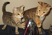 Savannah, serval, caracal, ocelots and cheetahs for sale