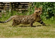 Bengal kittens for sale UK. Sparkling
