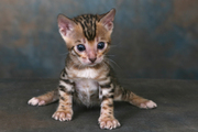 Four Lovely Bengal Kittens Available